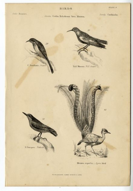 1864 BIRDS Creeper; Nuthatch; Lyrebird PRINT FROM ENGRAVING (9)